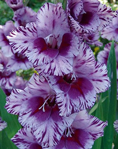 Made and Shipped in USA, Large Bulbs (10) Large Bulbs Spectacular Large Flowering Bullbs Gladiolus Purple, Lavender & White Passos Gladioli,Sword Lily Plant, Start, Root