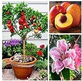 Qulista Samenhaus - 10pcs Rarität Zwergobstbaum Pfirsich lecker | Nektarinen-Bäumchen Obstbaum Obstsamen mehrjährig Winterhart Ideal als Kübelpflanze