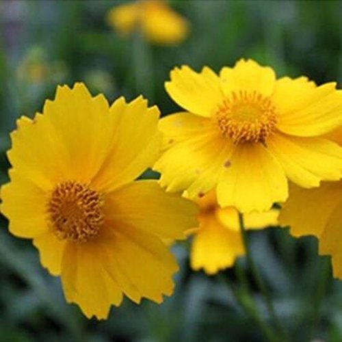 Livraison gratuite 50 marguerite jaune, jaune Cineraria facile fleur de croissance, les plantes vivaces fleurs graines de fleurs ornementales exotiques