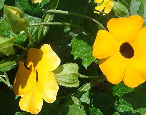 Stauden Kletterpflanze Gelb Thunbergia Alata (Black-Eyed Susan Rebe) 200 Samen