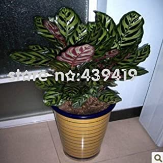 New Arrival!!! 50 pcs / bag,Calathea seeds, potted seed, flower seed, bonsai seeds garden plant, Germination Rate 95%+,, (Mixe