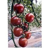 トスカーナバイオレット パイオニアエコサイエンスの紫ミニトマト種です