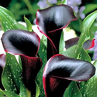 Black Calla Lily Bulbs(2 Bulb) Perennial Pretty Plant Flowers Bonsai,Home Garden Balcony Decor,Healthy Prolific Stems