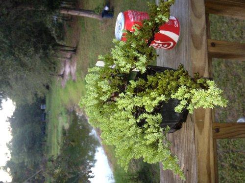 Bonsai Boy's Pre Bonsai Juniper Bonsai Tree-Small Juniper Procumbens nana