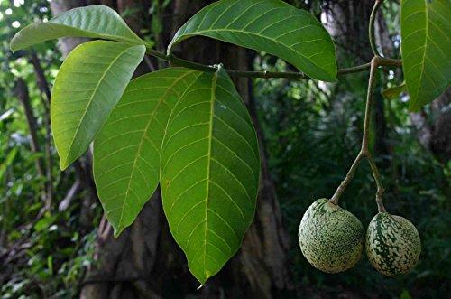 Asklepios-seeds® - 1 Kg Samen Voacanga africana, trockene Samen, Verwandt mit Tabernanthe iboga