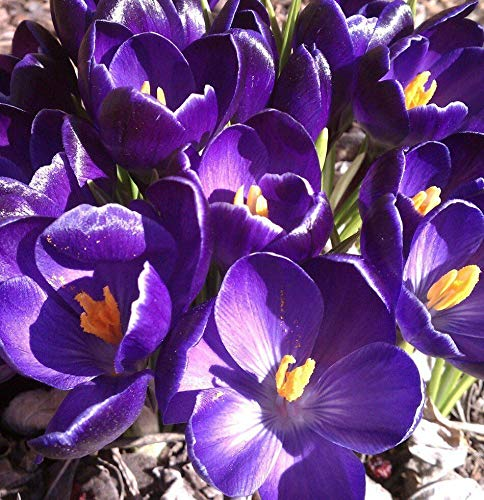 10 Bulbs: Giant Krokuszwiebeln ~ Blume Record ~ Plant JETZT FÜR Early Spring Flowers Perennial!