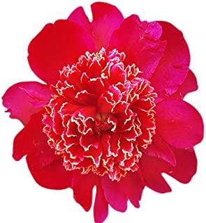 Special Sale: Red Anemone Peony - Single Red Pompom Peony Bare Root 3-5 Eyes
