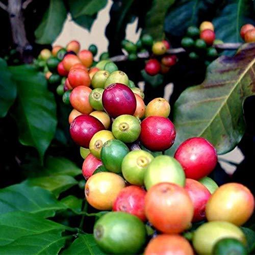 Kaffeebohnen Samen, 20 Stück Kaffeebohnen Samen Natürliche mehrjährige Mini essbare Bonsai Samen für Gewächshaus