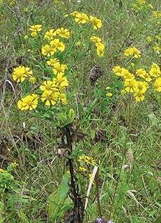 Sneezeweed (Helenium autumnale), Seed Packet, True Native Seed