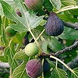 Pianta da frutto ALBERO SIMILE DI FICO -FICUS CARICA-VIOLA DOMENICO TAURO A RADICE NUDA - 1 METRO