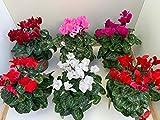 Ciclamen - Pack 8 PLANTAS - Cyclamen Persicum -Ciclamino - Flores de Jardín - Planta Viva - VIPAR GARDEN 25