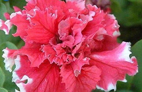 Belle rouge avec bord blanc Petunia Seeds 80 graines - ACHETER 4 ARTICLES
