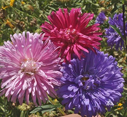 rosa und lila Asterblumen
