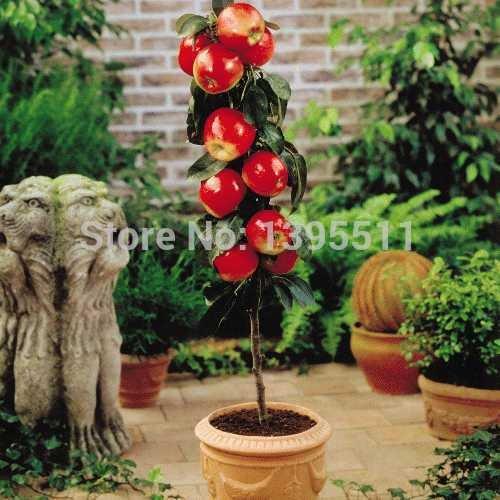 100 pcs Bonsai pommier Graines bonsaïs de fruits rares tree- Amérique graines de pomme rouge délicieux jardin pour les planteurs de pot de fleurs