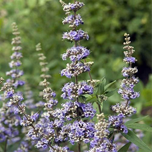 SAGEAWAY Vitex Agnus-castus Semillas de Flores
