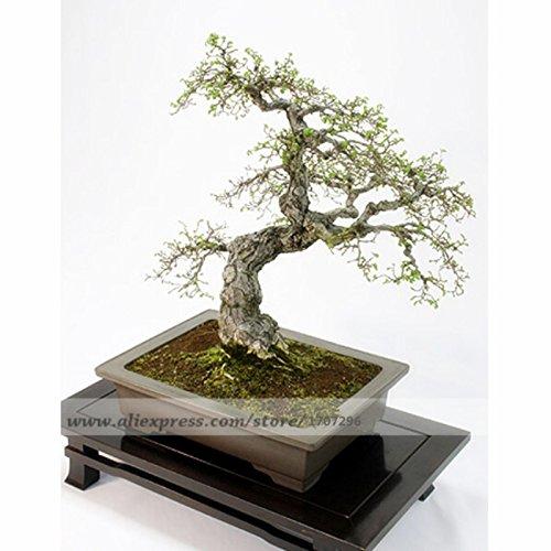20 PCS, Ulmus davidiana var. japonica   Elm japonais - Graines Bonsai, Graine Arbre, graines d'arbres verts bricolage maison jardin
