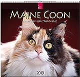 MF-Kalender MAINE COON - Amerikanische Waldkatze 2019