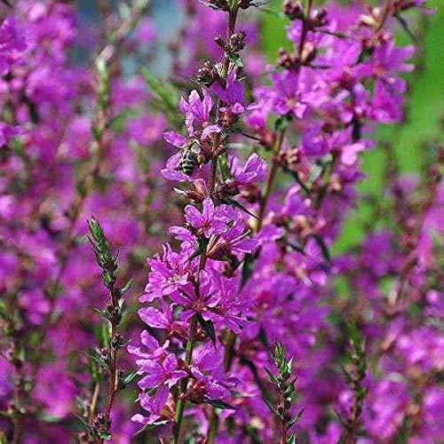 4 x Lythrum Salicaria 'Robert' - Kattenstaart pot 9cm x 9cm