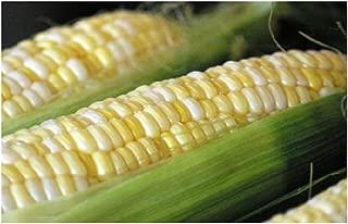 Best ambrosia sweet corn seed bulk Reviews