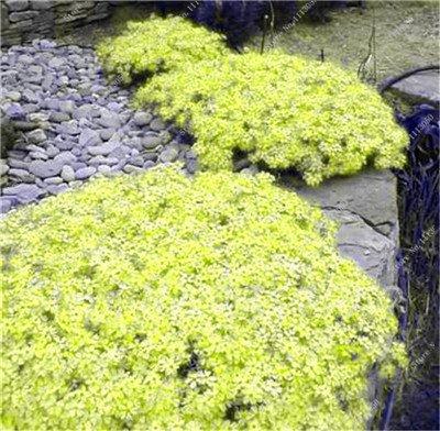 100 Stück/Beutel kriechender Thymian oder seltene Farbe Steinkresse, mehrjähriger Bodenbedeckungsblume, natürlicher Wachstum, für Haus und Garten Show In Picture 5