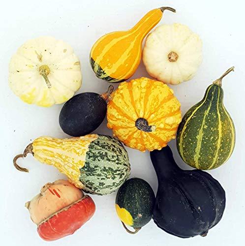 10 Verschiedene Dekokürbis-Arten | Zierkürbisse ca. 4-12 cm | Kürbis-Deko vers. Farben | Herbst-Deko | Halloween-Deko | Kürbismix