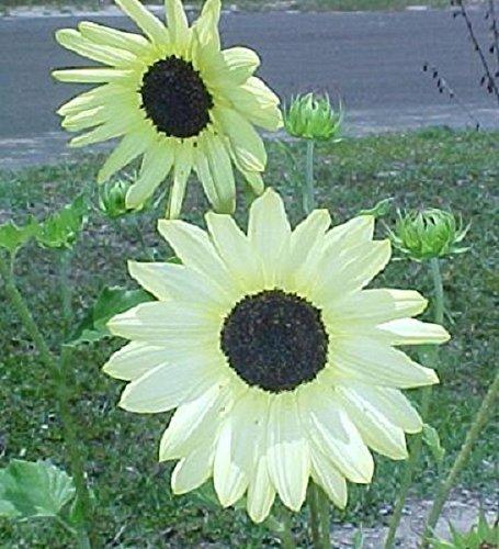 35+ Vanilla Ice White Sunflower Seeds / Long Lasting Annual