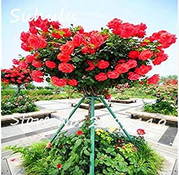 Vistaric 50 pcs Rare Belle Rose Rose Rose Graines De Fleurs D'arbres Maison Décoration Murale et Fête/Décoration De Mariage Bricolage Maison Jardin Des Plantes 4