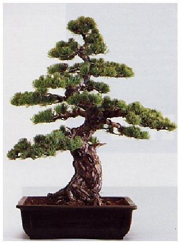 TROPICA - Pino blanco japonés (Pinus parviflora) - 12 semillas- Bonsâis