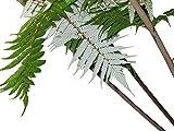 Silber-Baumfarn -Cyathea dealbata- 25 Samen
