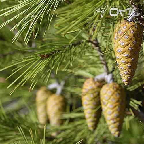 (20 Samen) Pinus halepensis/Koniferen