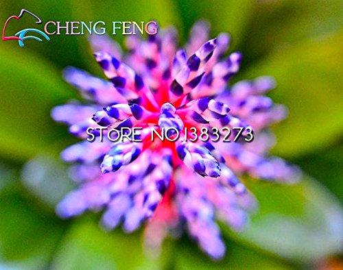 Best-vente 100pcs / lot broméliacées Seeds Mini Cactus Seed Rare Mini Succulent Plant Bonsai pour les fruits et légumes de jardin Regarder