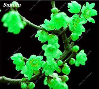 5 pièces rares Couleur vivaces Wintersweet graines, fleurs de pruniers, Blanc Jaune Rose Rouge Calyx Canthus Fleur Graine-Terre Miracle 2