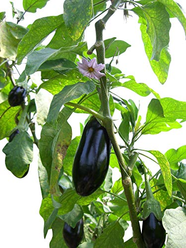 Aubergine Black Beauty 10 Samen -Solanum melongena-