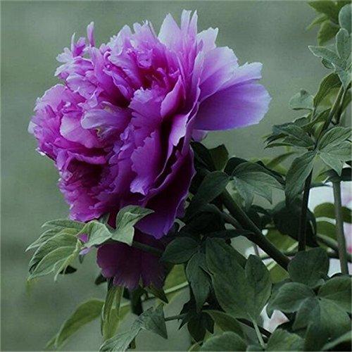 5 pièces/sac graines de pivoine, jaune, graines de fleurs de pivoine rose chinoise belles graines de bonsaï plantes en pot pour le jardin de la maison 9
