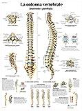 3B Scientific VR4152UU la Colonna Vertebrale, Anatomia e Patologia