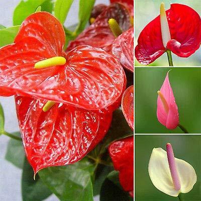 100 / sac de graines de Anthurium, les graines en pot, graines de fleurs, variété complète, le taux de bourgeonnement de 95%, (couleurs mélangées) semences pour la maison jardin