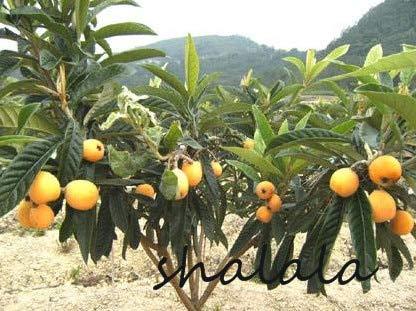SONIRY 10 Piezas de Fruta de níspero Árbol de la Planta Eriobotrya...