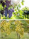 2er Set Weintrauben Pflanzen Regent und Phoenix Vitis Weinrebe winterhart Wein kernarm pilzfest knackig süß blau und hell ca. 60-100 cm jeweils im 2 Liter Topf