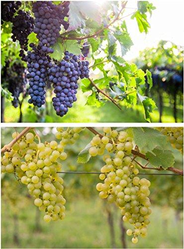 Weintrauben Pflanzen Regent und Phoenix Vitis Weinrebe winterhart Wein kernarm pilzfest knackig...