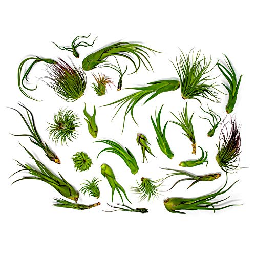 (14% OFF) 50 Live Air Plants $49.61 Deal