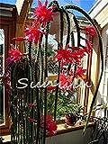 geoponics 200pcs potteds epiphyllum seme semi balcone bonsai per il giardino e la casa quattro stagioni di semina facile da coltivare 2