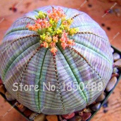 Mejor la venta 200pcs Suculentas japoneses Semillas interior Semillas raras Flor Mini Cactus semillas de flores de plantas carnosas polígono de 10