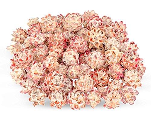 NaDeco Leucadendron pubescens 0,5kg Getrocknete Protea Trockenblume Naturdeko exotische Dekoration