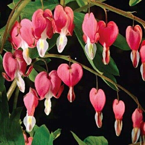 NP - 10 Bleeding Heart - Pink Old Fashioned Dicentra Formosa Shade Flower Seeds - LUC - Flower Decoration Vegetable Plant Seedling for Your Garden Decoration