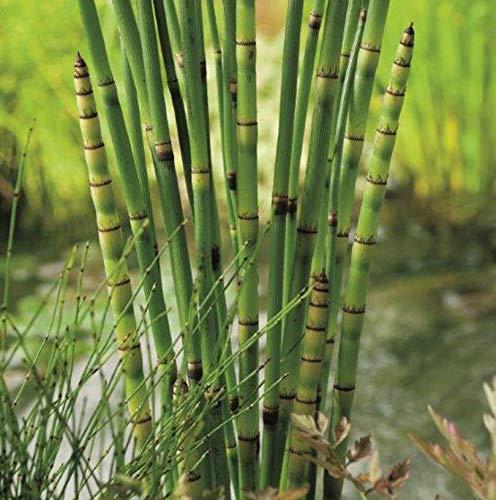 Equisetum japonicum | Japanischer Stachelhalm | Teich-und Sumpfpflanze | Höhe 90cm | Topf-Ø 18cm