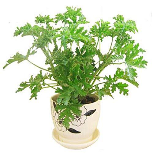 200 Piezas de Citronella Semillas de plantas Semillas de repelente de mosquitos Semillas de hierba dulce para el jardín