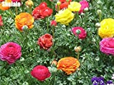 50 Pcs/Sac Ranunculus Asiaticus Graines De Fleurs Pour La Maison Et Le Jardin Graines De Bricolage Intérieur Persan Renoncule Flores Graines: 5