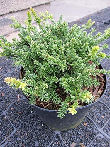 Podocarpus nivalis Kilworth Cream - Steineibe Kilworth Cream