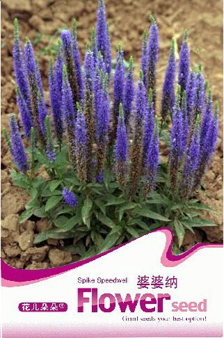 1 Original Pack, 50 graines / paquet, Veronica Spicata Speedwell Flower Seeds # A049