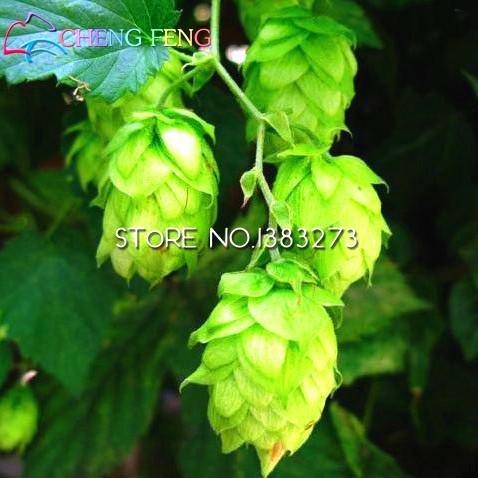 2016 20pcs Humulus lupulus Graines Plantes Forme Rhizomes Rare Fleur Hops Graine premières Vin Herbes Bonsai Usine jardin navire gratuit